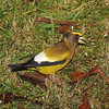 Evening Grosbeak....male