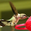 Hummingbirds : Ruby Throated Hummingbirds