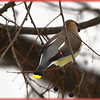 """The red tear-drop shaped tips on the secondary wing is why they are called """"Waxwings"""". The Cedar preceding it is because of their fondness of the Cedar tree that produces berries."""